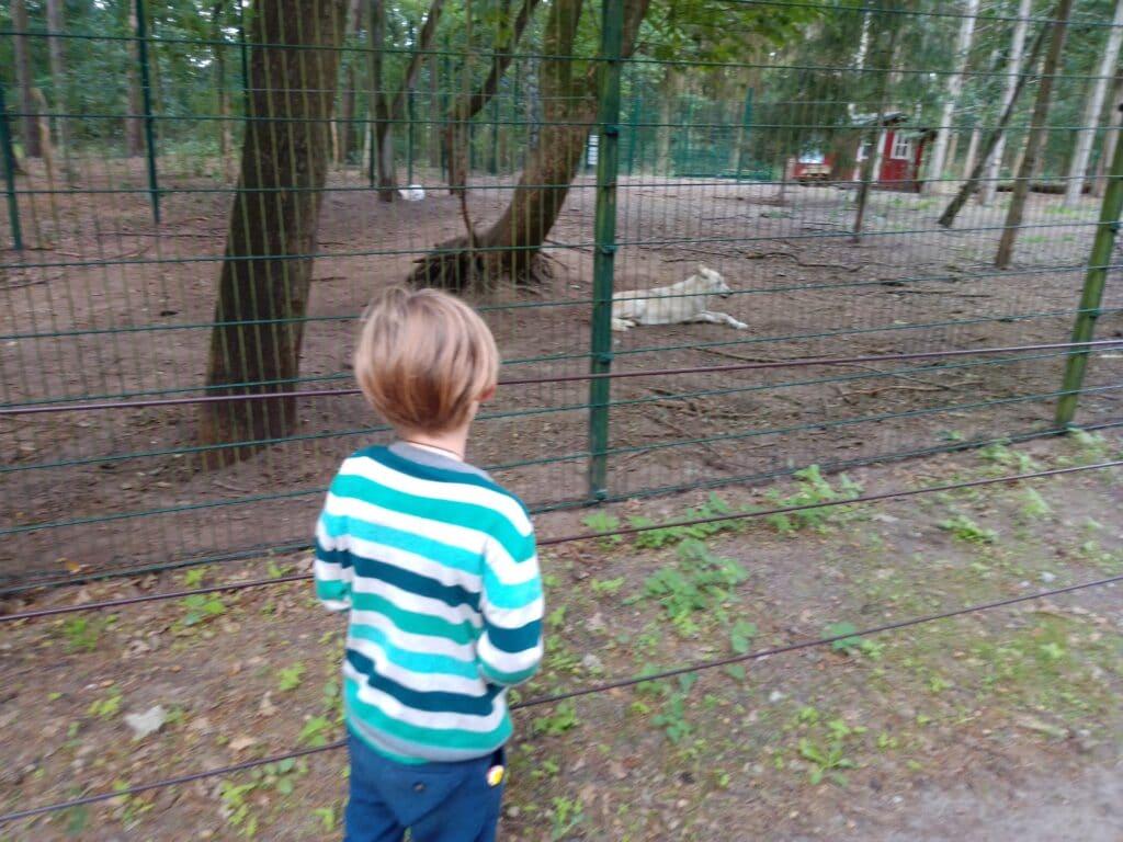 Ein Kind steht vor einem Gehäge und beobachtet einen liegenden Wolf.